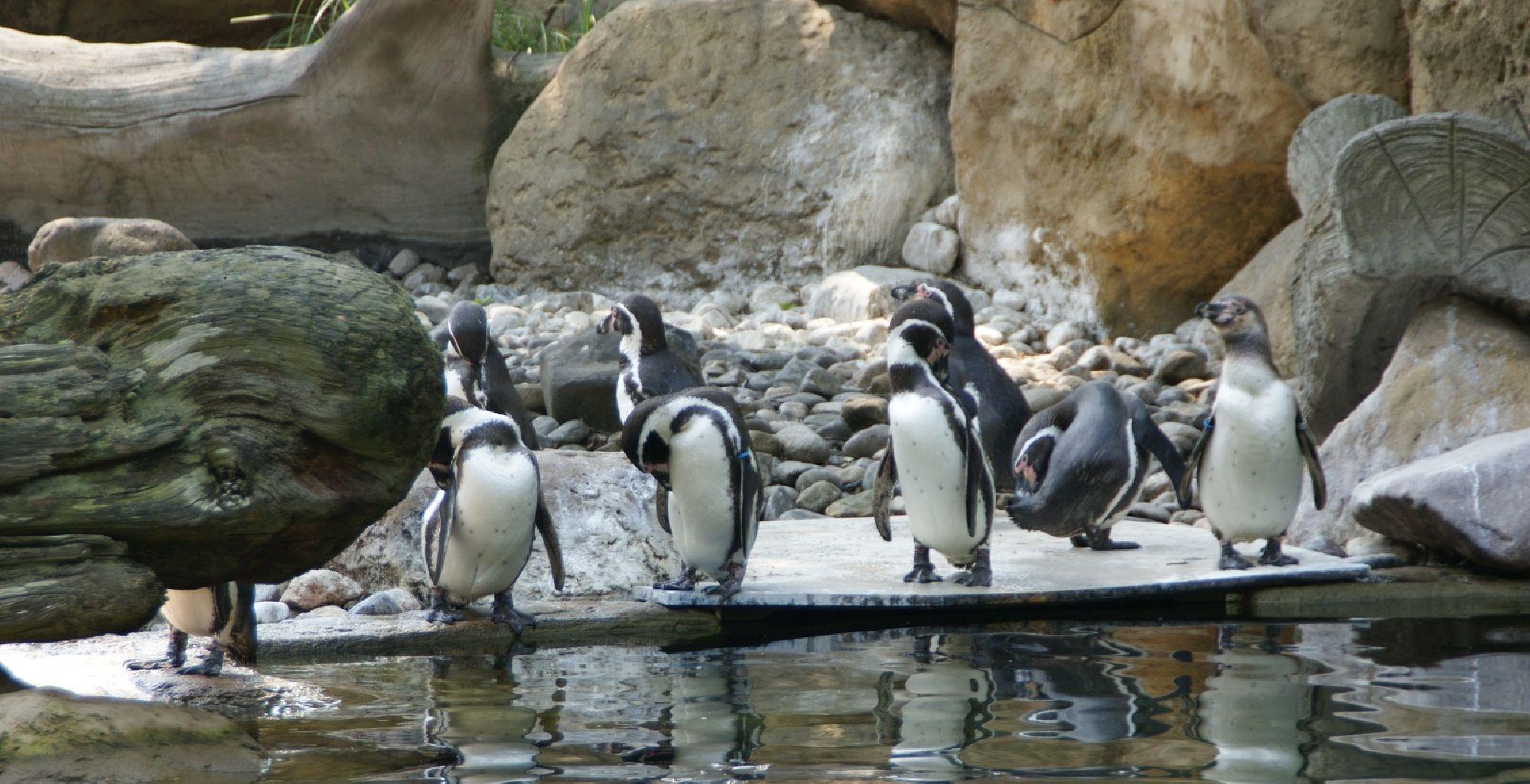 Jackass-Pinguine
